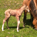 Baby Horse (foal)