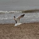 Great Black Backed Gull