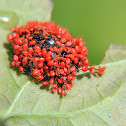 Erythraeid Mite larvae (on tortoise beetle)