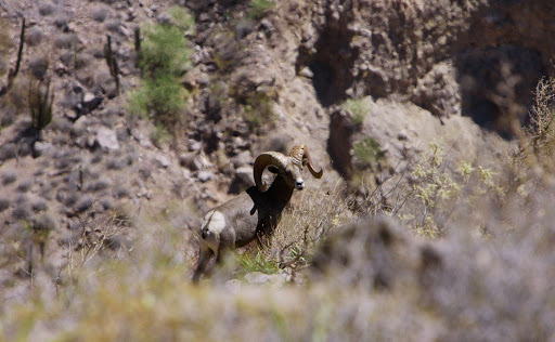 Cabo-San-Lucas-sheep - A desert big horn sheep near of Cabo San Lucas, Mexico.