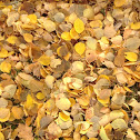 Leaves from a Sugar Maple tree