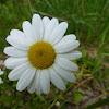 Margerite, Wiesen-Wucherblume