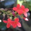 Kalanchoe sp flowers