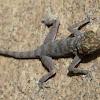 Egyptian Fan-Toed Gecko