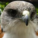 Red-backed hawk (Variable Hawk)