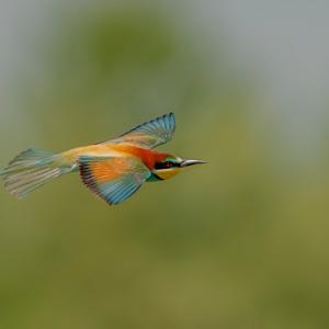 santalbano stura gruccione volo 24 maggio 2014--2.jpg