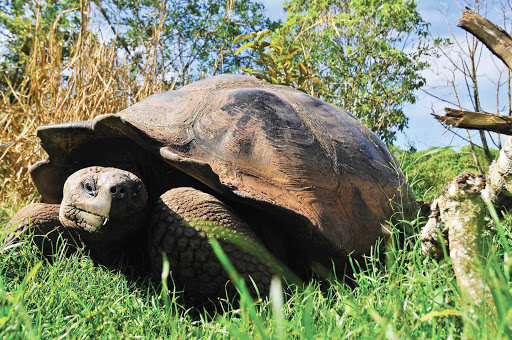Galapagos_giant_tortoise_3 - See a Galapagos giant tortoise close up on a Silversea cruise.