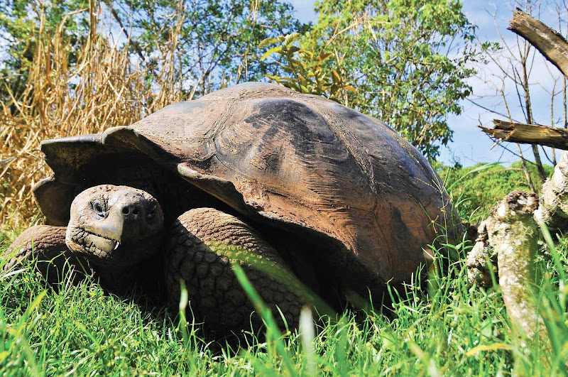 See a Galapagos giant tortoise close up on a Silversea cruise.