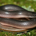 Midwestern Worm Snake