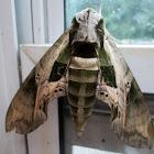 Intermediate Sphinx Moth