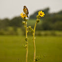 Dickcissel on Compass Plant