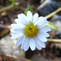 Annual Daisy