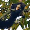 Malayan Giant Squirrel