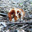 Columned stinkhorn mushroom