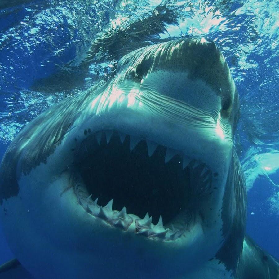 live shark wallpaper - photo #19