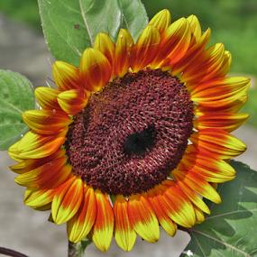 sunflower by Priscilla Renda McDaniel - Uncategorized All Uncategorized ( orange, macro, sunflower, brown, yellow, large, , Hope )