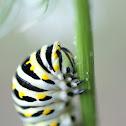 eastern black swallowtail catepiller