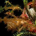 Harlequin/Ornate Ghostpipe Fish