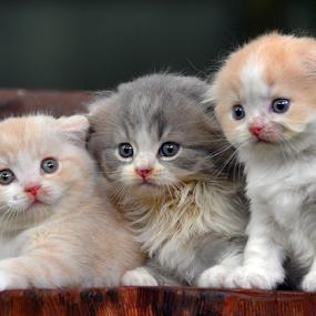 by Cacang Effendi - Animals - Cats Kittens ( cats, cattery, kitten, chandra, animal )