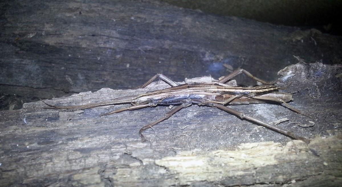 Two-Striped Walkingstick