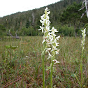 White bog orchid, bog candles
