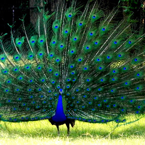 Peacock by Ravi Prakash - Animals Birds ( large bird, attractive, india, beauty, dance, peacock )