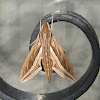 Silver-striped  Hawk-moth