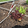 leaf lettuce red and green