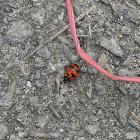 Ladybird / Lady beetle