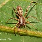 Antmimic spider