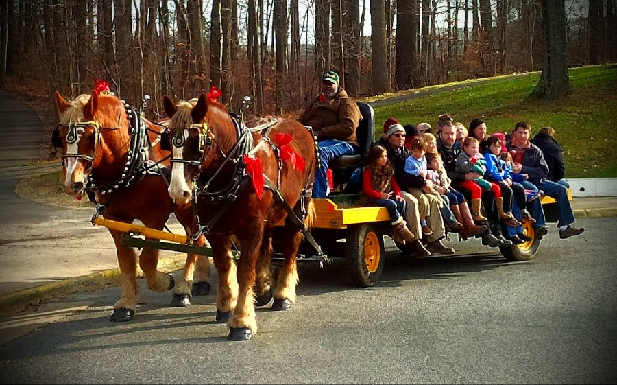 Horse-Drawn Hayride by Cecilia Sterling - Transportation Other ( holiday hayride, horse drawn hayride, horse, cold blooded horse, draft horse,  )