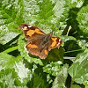 European Beak or Nettle-tree Butterfly