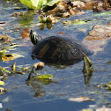Red-bellied Cooter Turtle