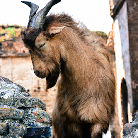 Billy Goat by Andreea Marchidan - Animals Other ( billy goat )