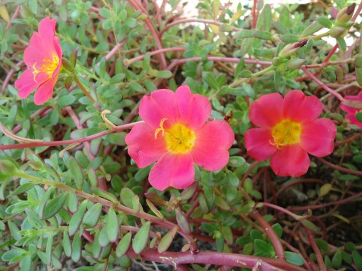 Moss-rose Purslane or Moss-rose