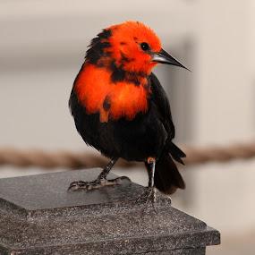 Little Cutie by Sharon Horn - Animals Birds ( bird, orange, orange and black bird, pittsburgh aviary, feathers, birds, black )