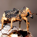 Black-brown Weevil