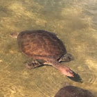 Florida Soft Shell turtles