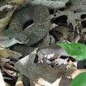 Hog Nosed Snake