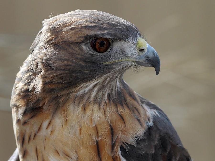 Red-tailed Hawk Profile by Sandra Blair - Animals Birds ( bird, predator, bird of prey, raptor, hawk )