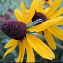 Yellow coneflower Also: rudbeckia aka black eyed Susan