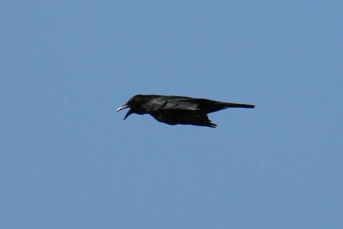 Carrion Crow (Aaskrähe)