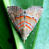 Noctuid Moth or Erebid Moth