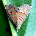 Noctuid Moth or Erebid Moth