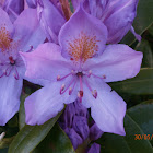 Pontic Rhododendron?