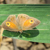 Orange Bushbrown