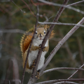 squirrel by Char Robertson - Animals Other ( red n brown, tree, watching, eating, squirrel )