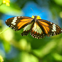Mangrove Tiger Butterfly