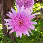 Double Pink Marguerite Daisy (Vancouver cultivar)