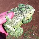 Chameleon  זִיקִית יָם-תִּיכוֹנִית, נקראה בעבר גם זיקית מובהקת או זיקית מצויה